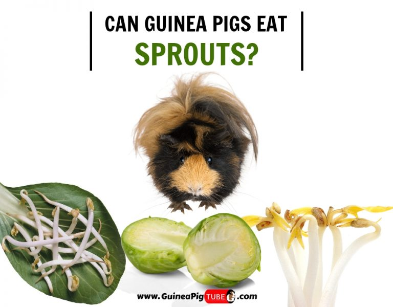 Can Guinea Pigs Eat Sprouts (Benefits, Risks, Serving Size & More)