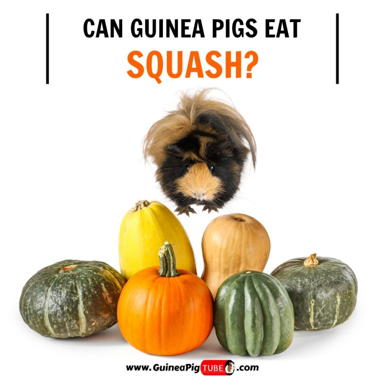 Can Guinea Pigs Eat Squash (Benefits, Risks, Serving Size & More)