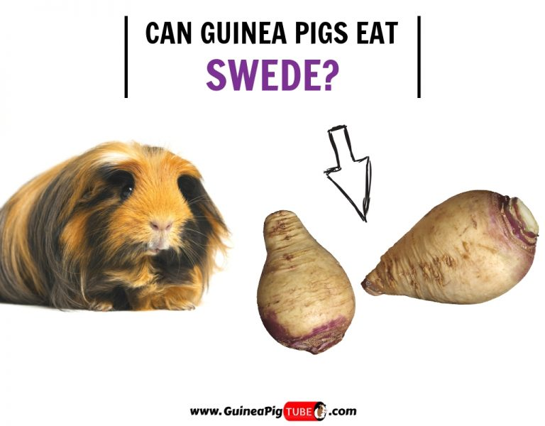 Can Guinea Pigs Eat Swede (Benefits, Risks, Serving Size & More)