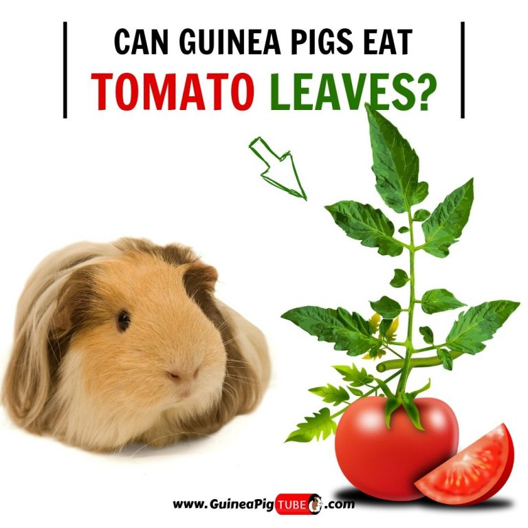 Can Guinea Pigs Eat Tomato Leaves (Benefits, Risks & More)