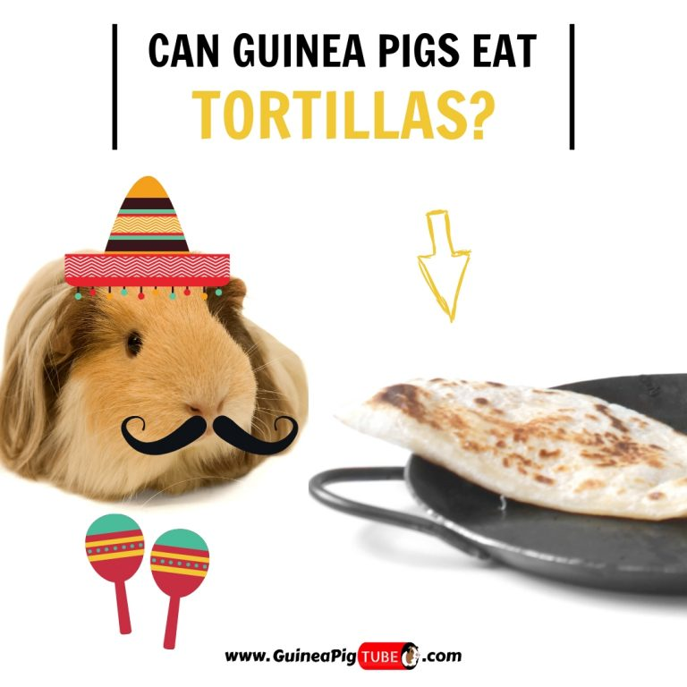 Can Guinea Pigs Eat Tortillas (Benefits, Risks & More)