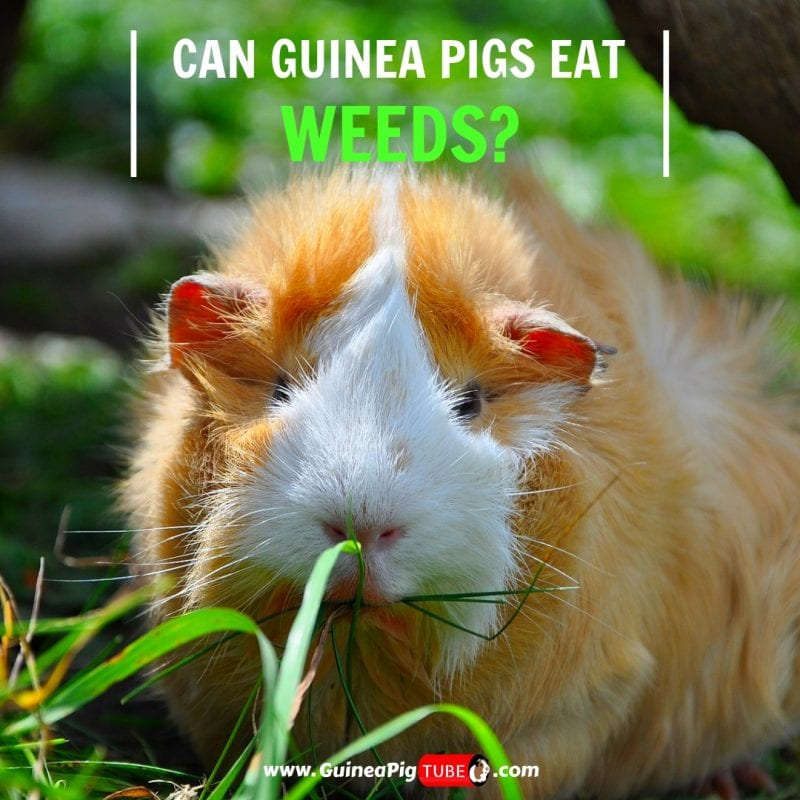 Can Guinea Pigs Eat Weeds (Benefits, Risks, Serving Size & More).