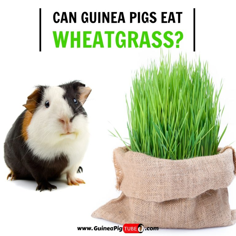 Can Guinea Pigs Eat Wheatgrass