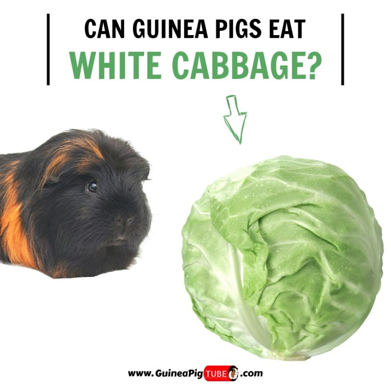Can Guinea Pigs Eat White Cabbage (Benefits, Risks, Serving Size & More)