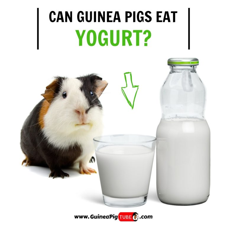 Can Guinea Pigs Eat Yogurt (Benefits, Risks & More)