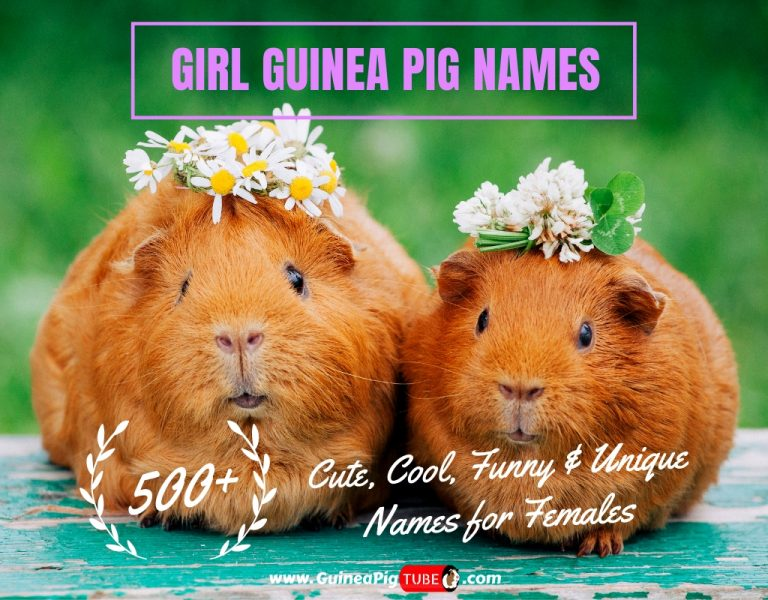 Girl Guinea Pig Names 500+ Cute, Cool, Funny & Unique Names for Females.