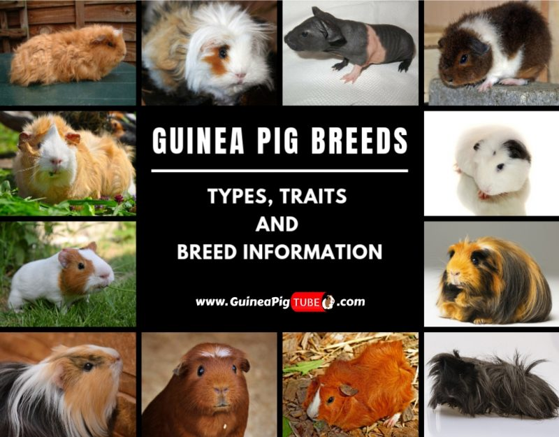 Guinea Pig Breeds Types, Traits, and Breed Information