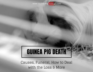Guinea Pig Death Causes, Funeral, How to Deal with the Loss & More