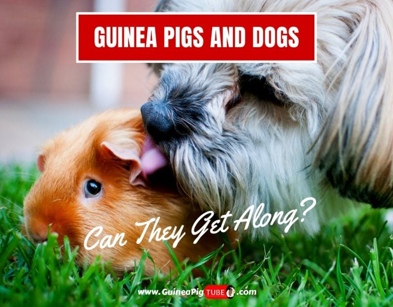 Guinea Pigs and Dogs Can They Get Along