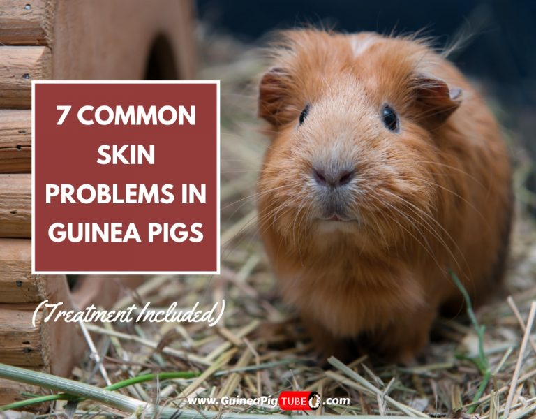 7 Common Skin Problems in Guinea Pigs (Treatment Included