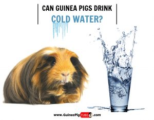 Can Guinea Pigs Drink Cold Water (Benefits, Risks, Serving Size & More)