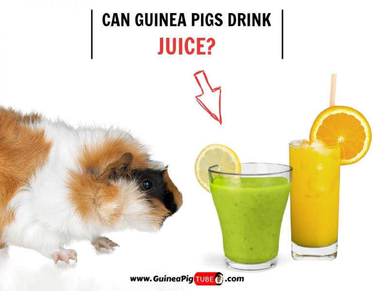 Can Guinea Pigs Drink Juice (Benefits, Risks, Serving Size & More)