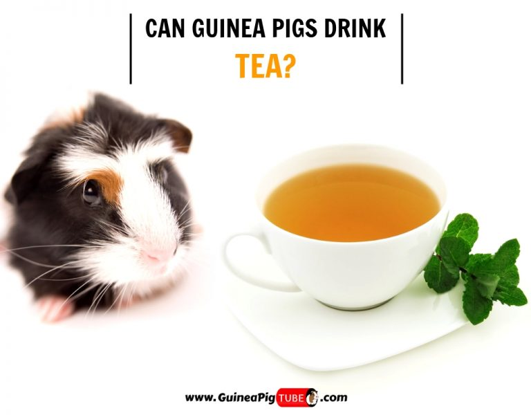 Can Guinea Pigs Drink Tea (Risks, Facts & More)