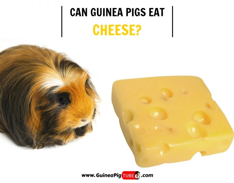 Can Guinea Pigs Eat Cheese (Risks, Facts & More)