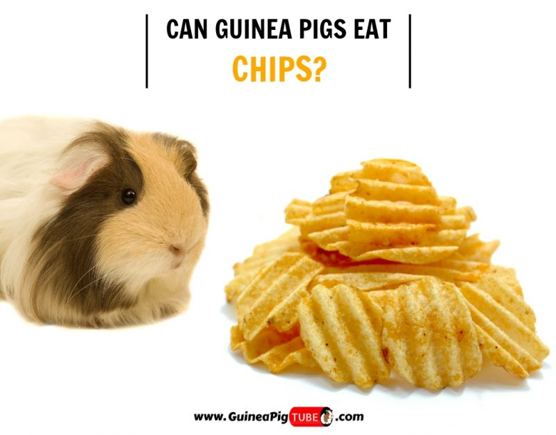 Can Guinea Pigs Eat Chips Risks Facts More Guinea Pig Tube