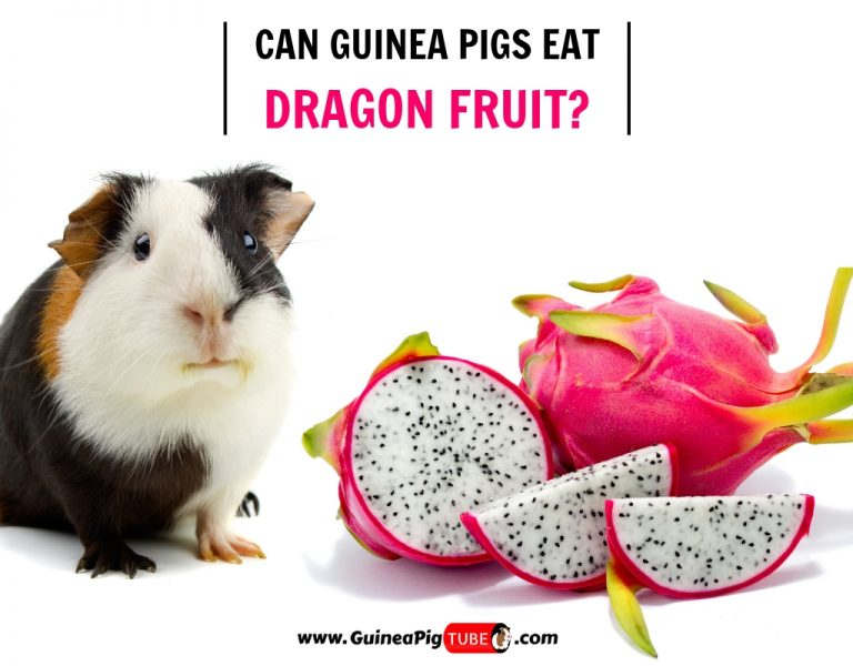 Can Guinea Pigs Eat Dragon Fruit (Benefits, Risks, Serving Size & More)
