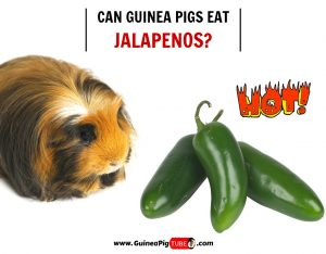 Can Guinea Pigs Eat Jalapenos (Risks, Facts & More)