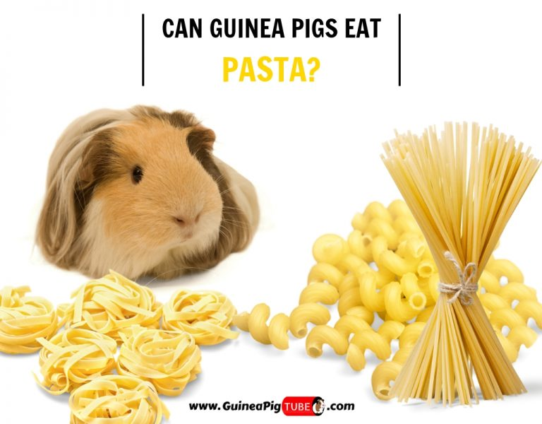 Can Guinea Pigs Eat Pasta? (Risks, Facts & More) - Guinea