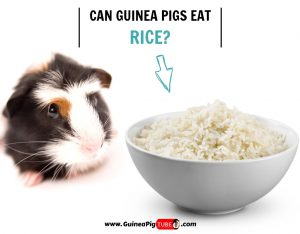 Can Guinea Pigs Eat Rice (Risks, Facts & More)