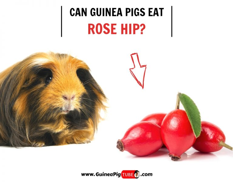Can Guinea Pigs Eat Rose Hip (Benefits, Risks, Serving Size & More)