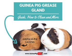 Guinea Pig Grease Gland Guide, How to Clean and More.