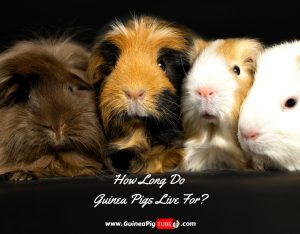 Guinea Pig Life Span How Long Do Guinea Pigs Live For