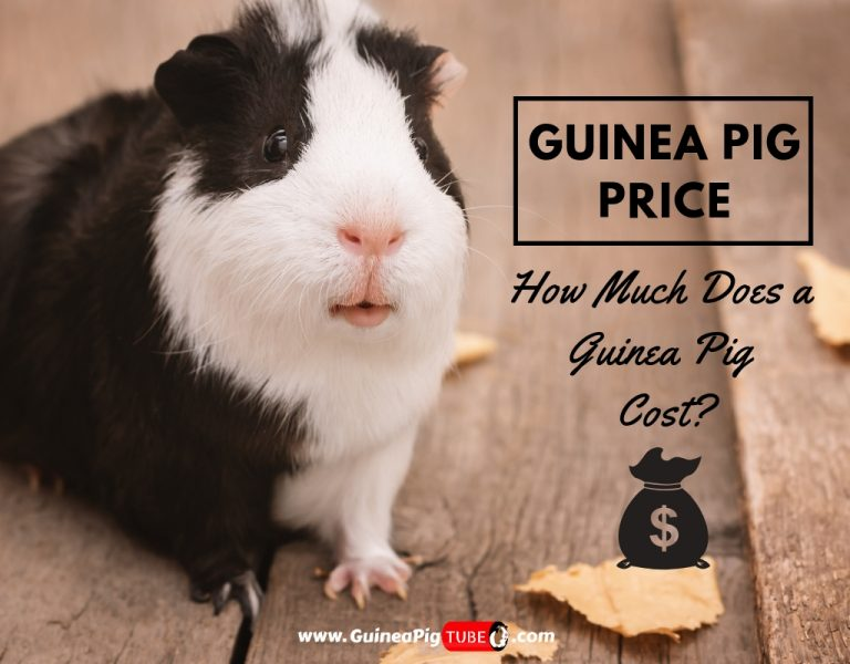 Guinea Pig Price How Much Does a Guinea Pig Cost
