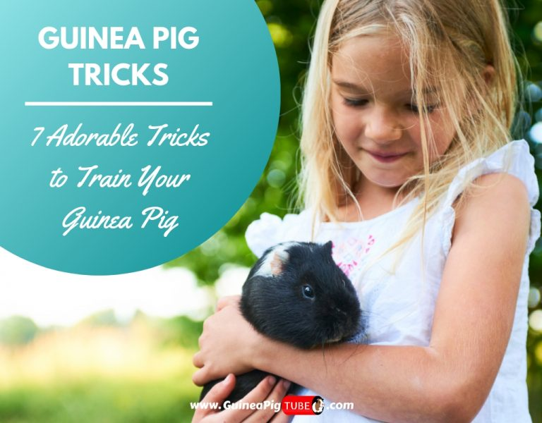 Guinea Pig Tricks 7 Adorable Tricks to Train Your Guinea Pig.
