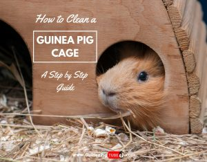 How to Clean a Guinea Pig Cage A Step by Step Guide