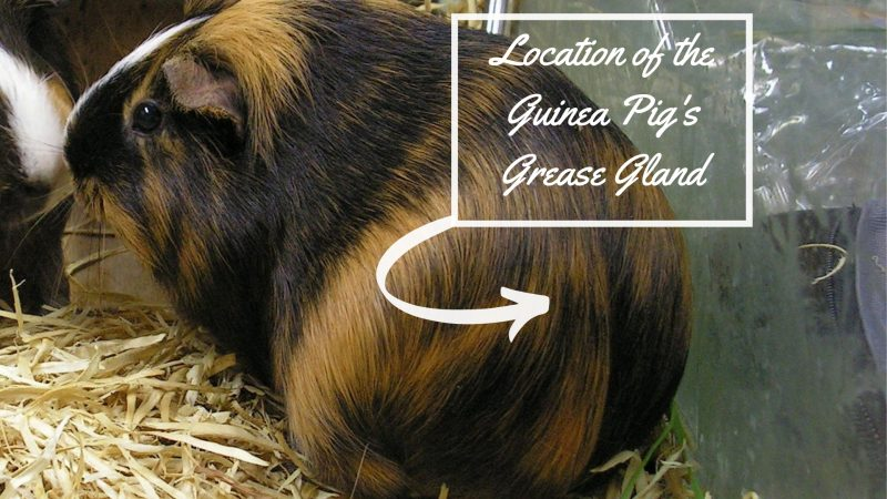 Location of the Guinea Pig's Grease Gland.