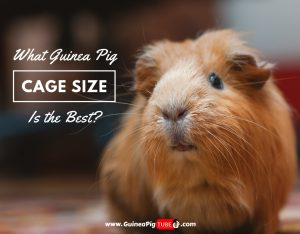 What Guinea Pig Cage Size Is the Best (Proper Accommodation)