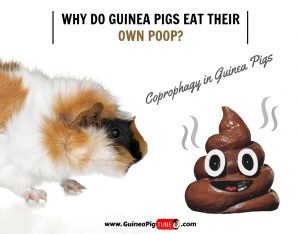 Why Do Guinea Pigs Eat Their Own Poop (Coprophagy)