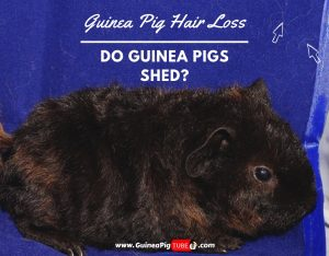 Guinea Pig Hair Loss – Do Guinea Pigs Shed.