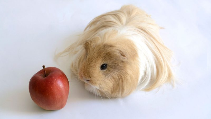 Risks to Consider When Feeding Apples to Guinea Pigs