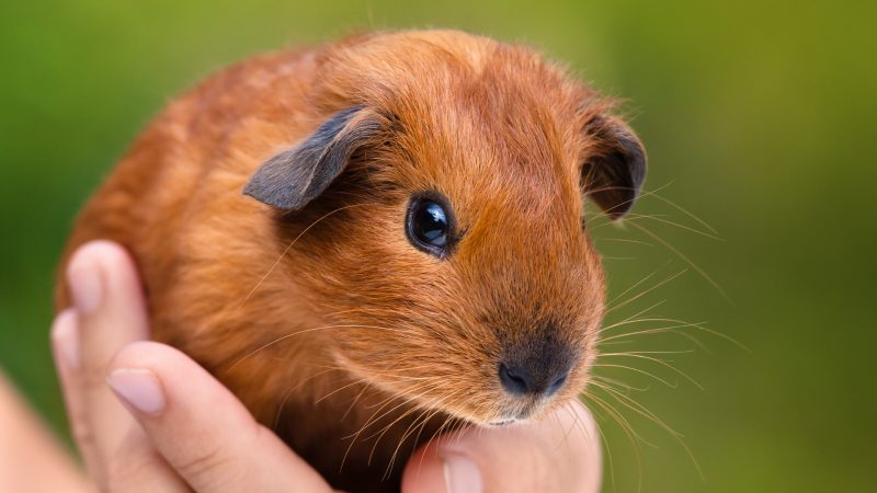 30 Amazing Guinea Pig Babies Facts You Need to Know