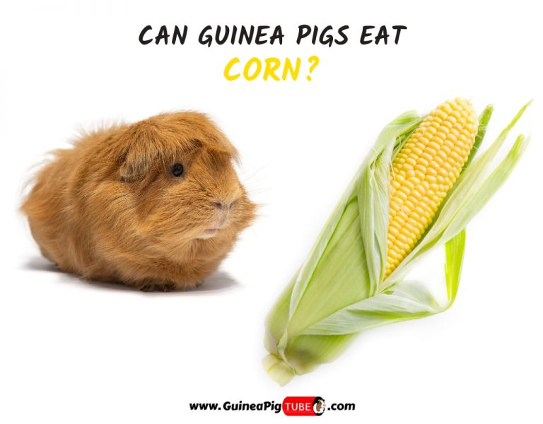 Can Guinea Pigs Eat Corn (Kernels,Husk and Silk)