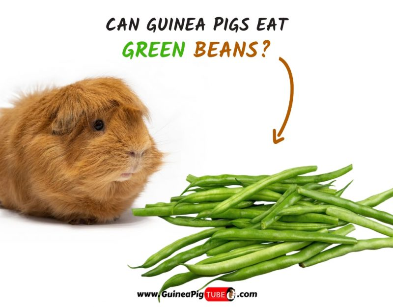 Can Guinea Pigs Eat Green Beans (Benefits, Risks, Serving Size & More)