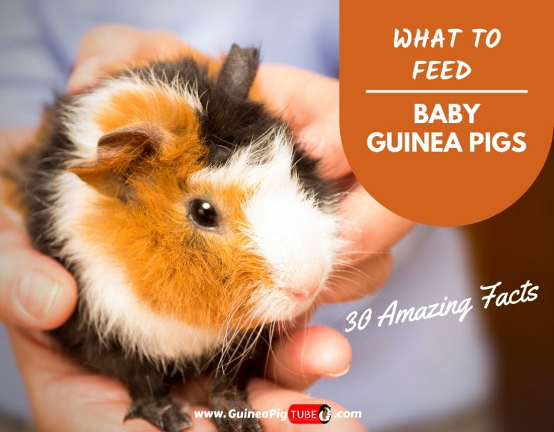 What to Feed Baby Guinea Pigs