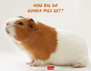 How Big Do Guinea Pigs Get A Helpful Size Guide