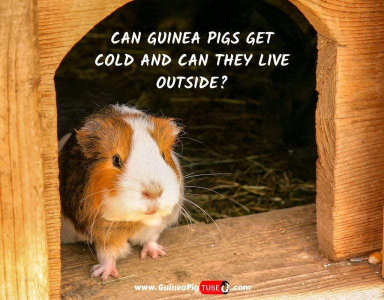 Can Guinea Pigs Get Cold and Can They Live Outside_