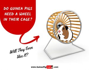 Do Guinea Pigs Need A Wheel In Their Cage_