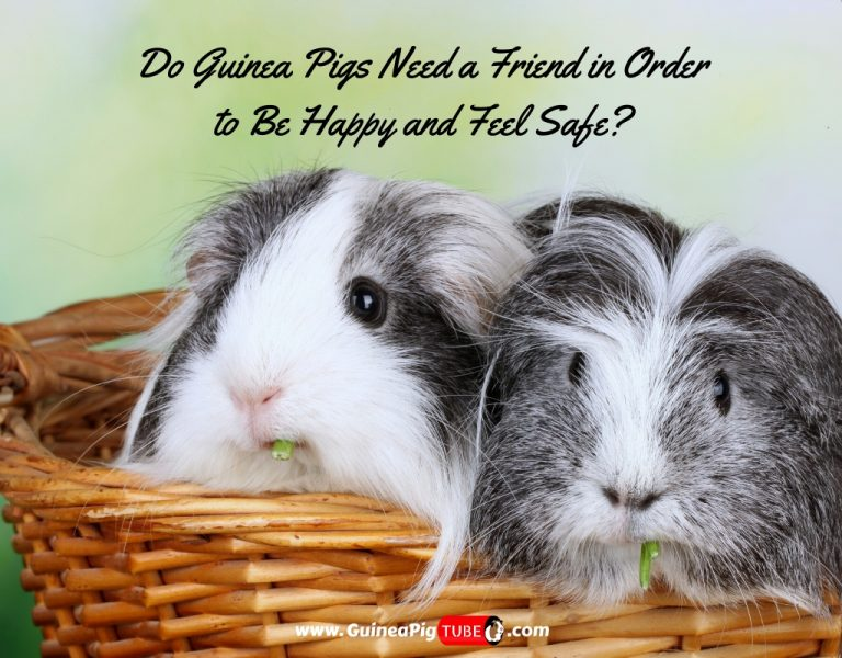 Do Guinea Pigs Need a Friend in Order to Be Happy and Feel Safe_