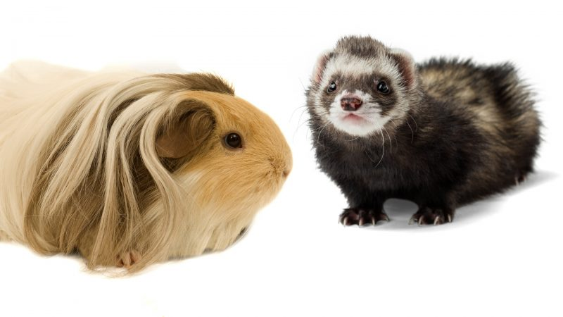 Guinea Pigs and Ferrets