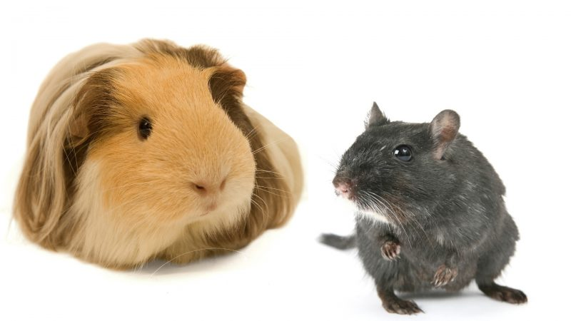 Guinea Pigs and Hamsters