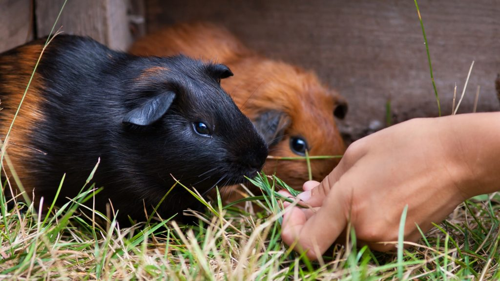Introducing Guinea Pigs