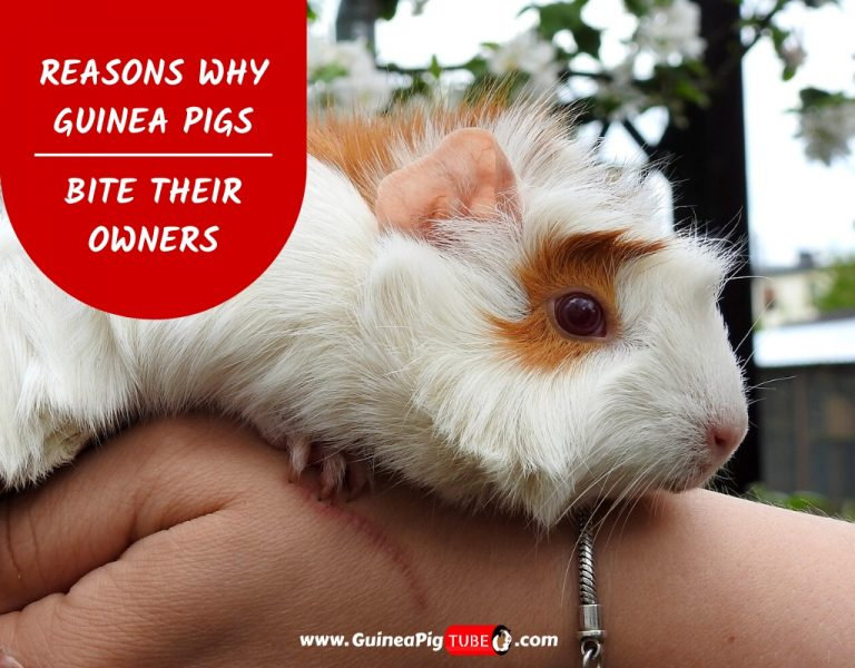 9 Reasons Why Guinea Pigs Bite Their Owners