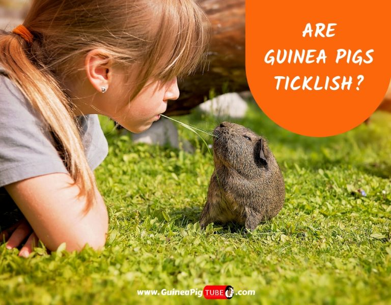 Are Guinea Pigs Ticklish