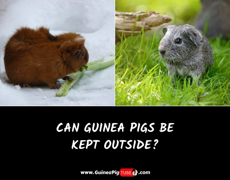 Can Guinea Pigs Be Kept Outside_