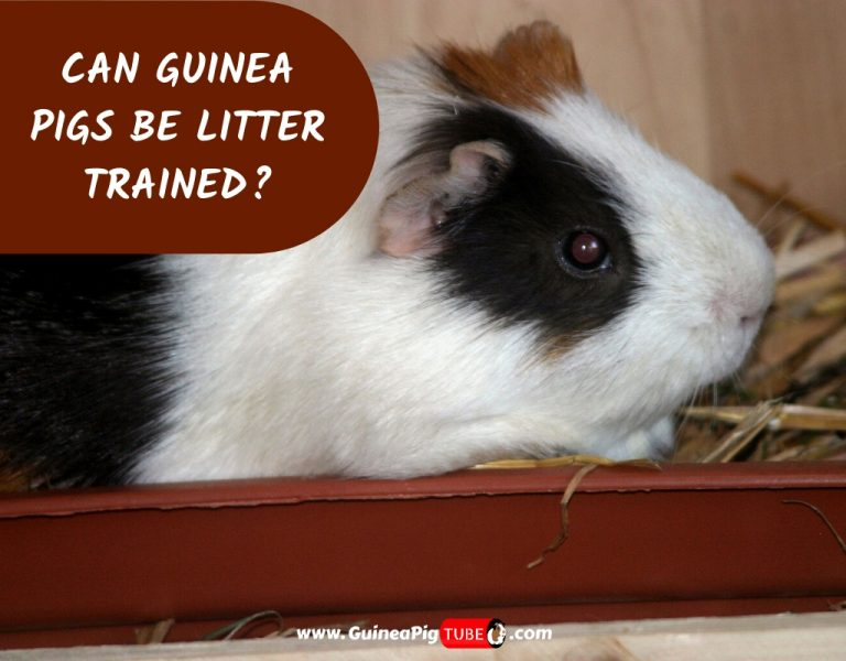 Can Guinea Pigs Be Litter Trained_