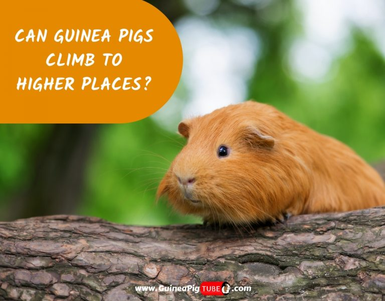 Can Guinea Pigs Climb to Higher Places_